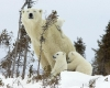 Polar bear mom with children