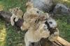 Cougar babies climbing