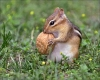 Squirrel with a hazel nut