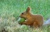 Squirrel eating fruit