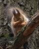 Flaut ekorn
