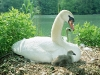 Swan mom and chicks