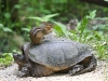 Chipmunk getting ride on a turtle