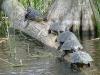 Skilpadde og krokodiller