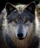 Nærbilde av grå ulv