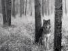 Ulv i skogen