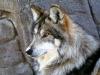 Meksikansk ulv