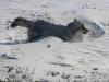 Ulv i snøen