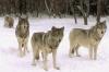 Ulveflokk i snøen