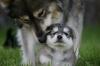 Søt ulvevalp