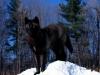 Sort ulv i snøen