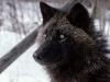 Sort tundra ulv