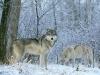 Ulver i snøen
