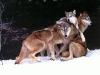 Ulveflokk som koser
