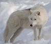 Polarulv i snøen