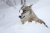 Ulv som leker i snøen