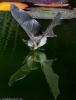 Flaggermus som reflekteres i vannet
