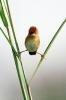Fugl som balanserer på et strå