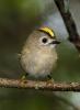 Fugl med gult hår