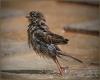 Våt fugl som bader
