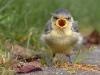 Fugl som kjefter