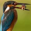 Fugl som spiser en redd fisk