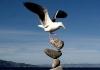 Måke som balanserer på en stein