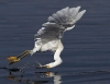 Fugl som fanger fisk opp-ned