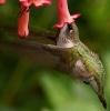 Kolibri som spiser