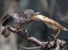 Fugl som spiser en annen fugl