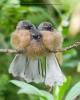 Fugler på en gren