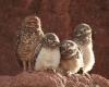 Uglefamilie
