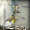 Fugler som spiser