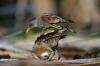 Fugler som hopper