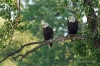 Ørner i et tre
