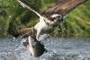 Ørn som jakter på fisk