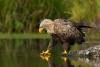 Ørn som sjekker vannet før den tar seg et bad
