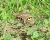 Ugle i gresset