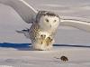 Ugle på jakt