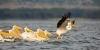 Pelikaner som går på vannet