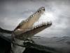 Krokodille som er stor i kjeften