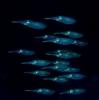 Blå selvlysende fisk