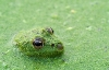 Frosk i kamodrakt