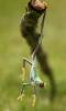 Frosk som henger fra en kvist