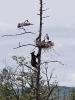 Bjørn som besøker en storkefamilie