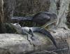 Stor fugl som biter liten krokodille