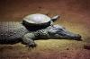 Skilpadde som får skyss av en krokodille