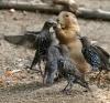 Jordekorn og fugler i matkrig