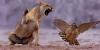 Løve som sloss med en fugl
