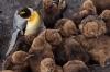 Pingvin som er med gjengen